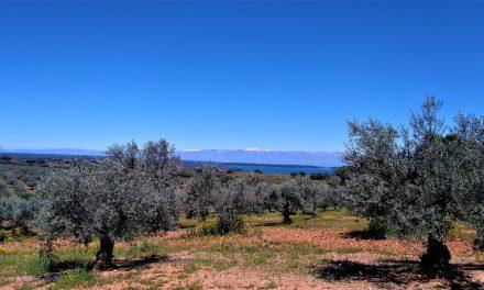 Se inicia la campaña de la mosca del olivo en Ibores y Villuercas