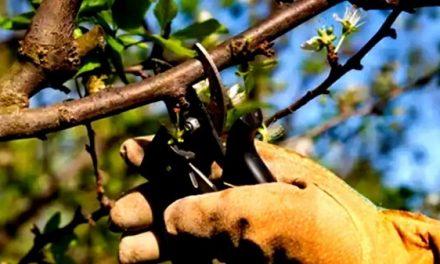La Comunidad de Regantes de Valdecañas imparte dos cursos de poda y fertirrigación del almendro