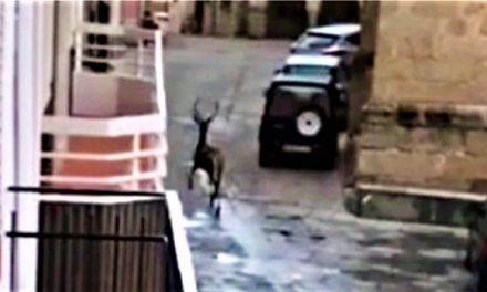 La berrea en las calles de Bohonal, un cérvido entra en la población