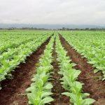 La Junta publica la resolución de pago de la ayuda a la producción integrada del tabaco