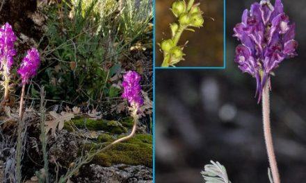 """Catalogan la """"Linaria Vettonica"""", una planta que habita en la Sierra de Gredos"""