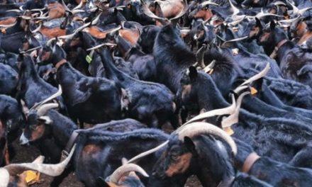 Vara aboga por el trabajo conjunto para conseguir la DO Cabra de Extremadura