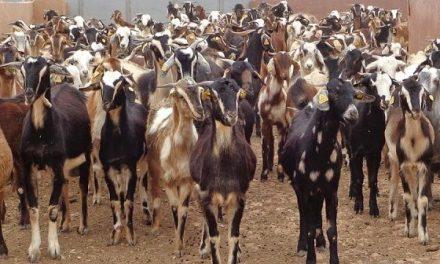 Agricultura desarrollará un plan estratégico del caprino, junto al sector