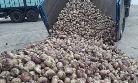 Piornal prepara 28 mil kilos de nabos para recibir a Jarramplas