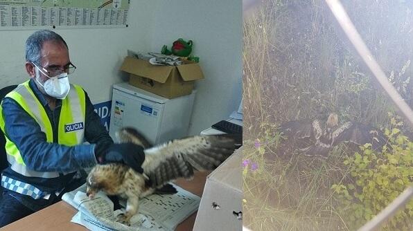 La Policía Local de Navalmoral rescata un Águila Calzada