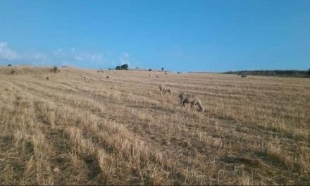 Convocadas las ayudas para la práctica del pastoreo en la red pecuaria extremeña 2020