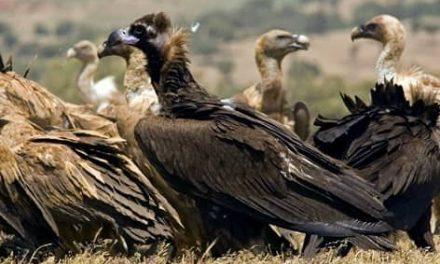 Monfragüe y la Sierra de San Pedro albergan las colonias de buitre negro más importantes del mundo