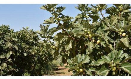 Extremadura participa en un estudio internacional de la UE para seleccionar higos resistentes a la sequía y suelos salinos
