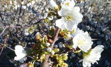 Desde el Valle del Jerte piden a los visitantes que no corten las ramas de los cerezos