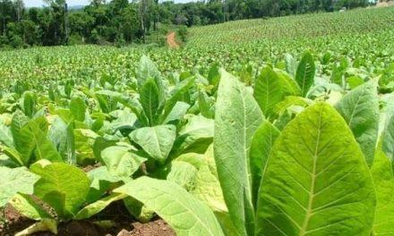 Los tabaqueros pueden presentar alegaciones a la resolución provisional de las ayudas agroambientales al tabaco