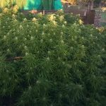 La Guardia Civil encuentra cinco plantas de marihuana en una parcela de Casatejada